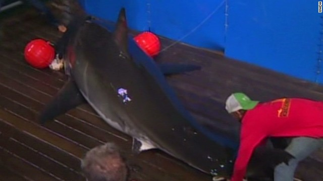 Great white shark mission in 'Jaws' area
