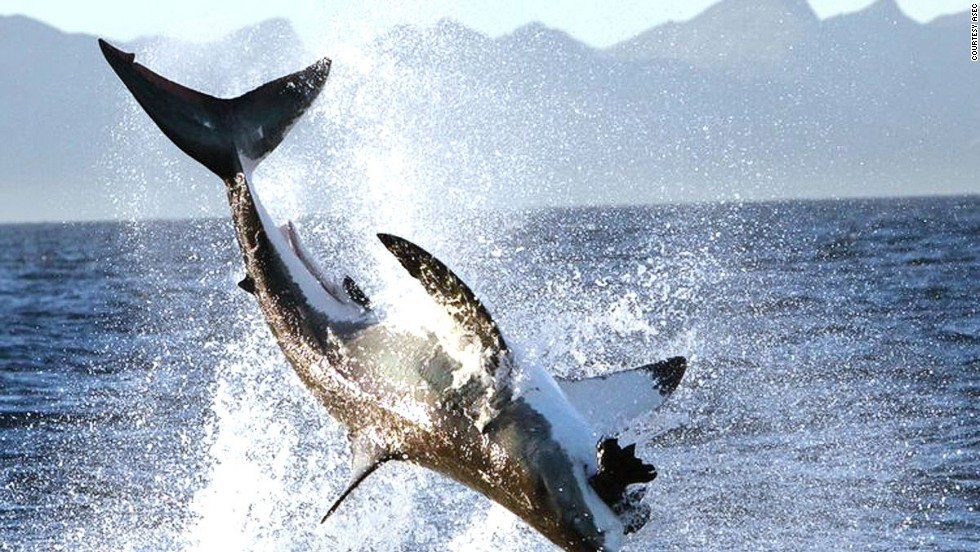 <strong>False Bay, Cape Town, South Africa: </strong>No one knows why shark breaches at False Bay are more frequent and intense than anywhere else in the world. But they're great to see.