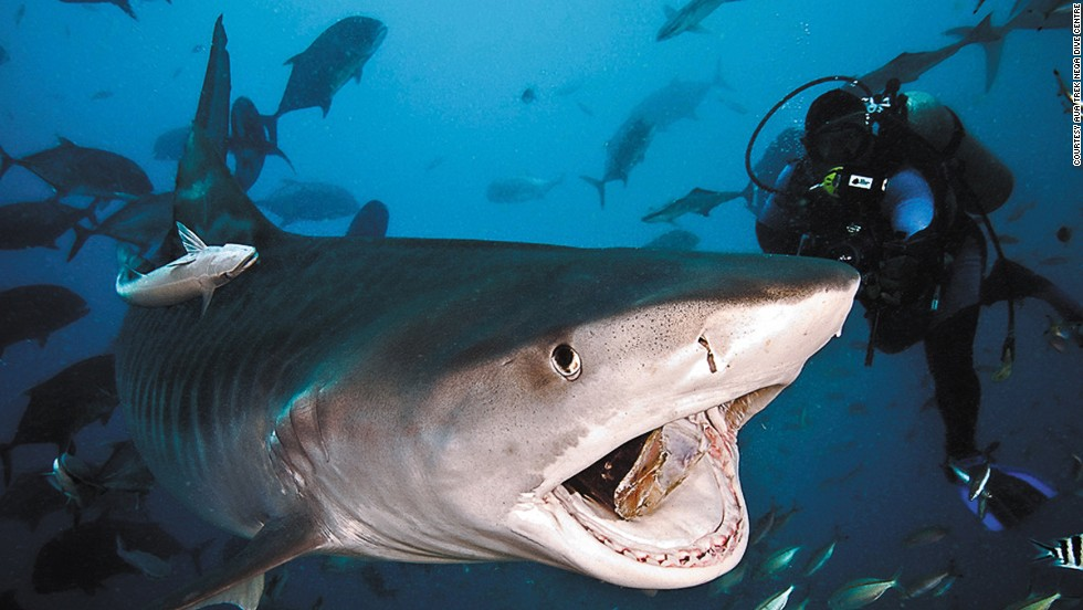 <strong>Fiji:</strong> Divers will see at least seven shark species on each dive in the Pacific Harbor of Fiji, tour organizers claim.