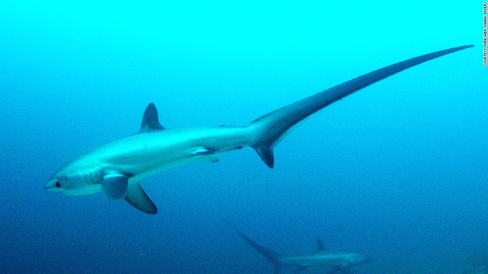 <strong>Malapascua, Philippines:</strong> Malapascua's Monad Shoal has been designated a marine park to protect thresher sharks. Threshers' tails can make up to half their body length, which can grow to as long as six meters.