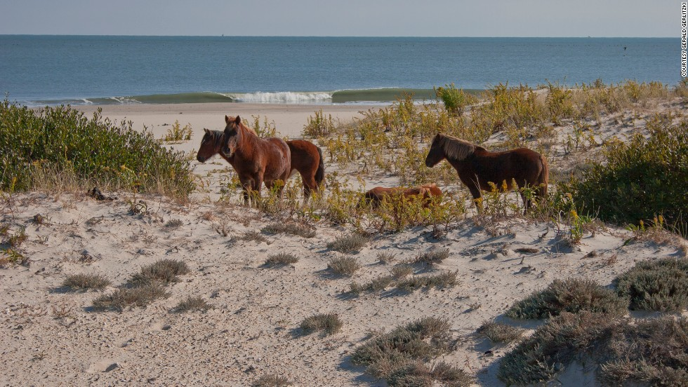 "<a href=""http://www.nps.gov/asis/naturescience/horses.htm"" target=""_blank"">Assateague Island National Seashore</a> is home to feral horses. The national seashore is located in Maryland and Virginia, and each state has a herd of horses."