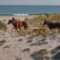 best coastal beaches assateague maryland1