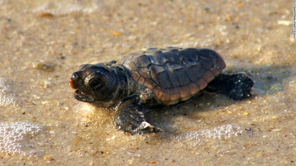 Bald Head Island is home to nearly 200 species of birds, deer, alligators, foxes and sea turtles.