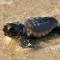 best coastal beaches bald head island NC sea turtle