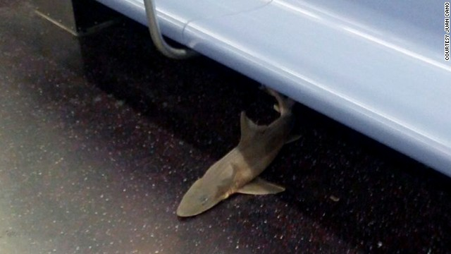 Shark carcass found on NYC subway
