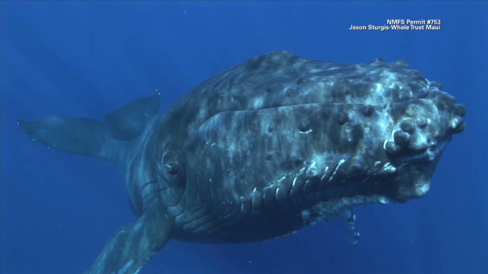 the next list humpback whale comeback_00005604.jpg