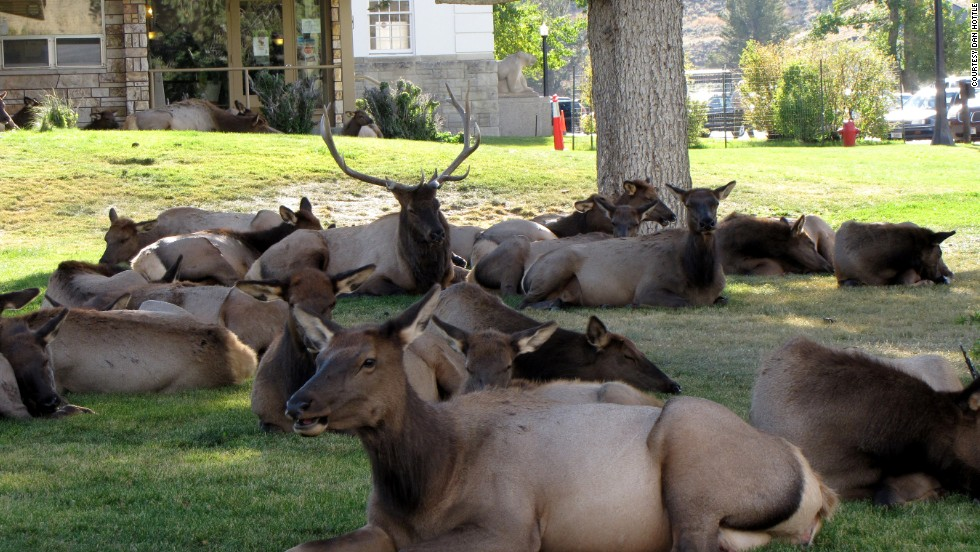 In elk mating season, which starts around September, the bulls come down from the mountains and gather up as many cows (female elk) as they can into harems. Shown here is a harem of 27 cows resting in Mammoth Hot Springs near the town post office. Visitors are cautioned to stay at least 25 yards away from the elk, which have been known to ram cars and trap people.
