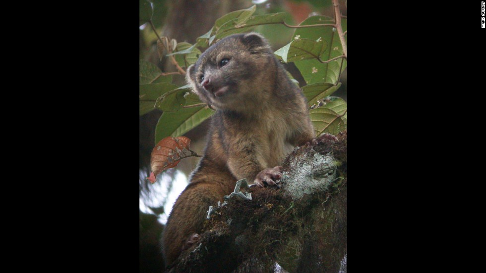 The olinguito, shown here, is smaller and has a more rounded face than the olingo. Scientists say it is the smallest member of the raccoon family.