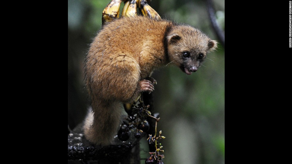 The olinguito used to be mistaken for the olingo, its sister species. Here is an olingo at the private reserve of Paz de las Aves (Peace of the Birds) near Nanegalito, Ecuador.