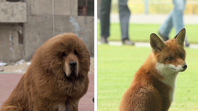 ctw china's dog lion_00002921.jpg