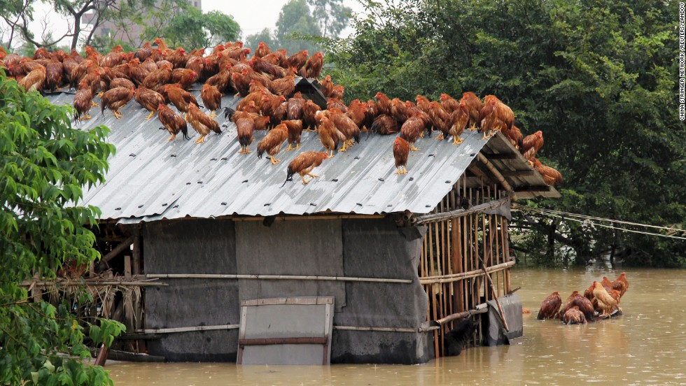 Chickens try to escape rising floodwaters after Typhoon Utor hit Maoming, in southern China, on August 15.