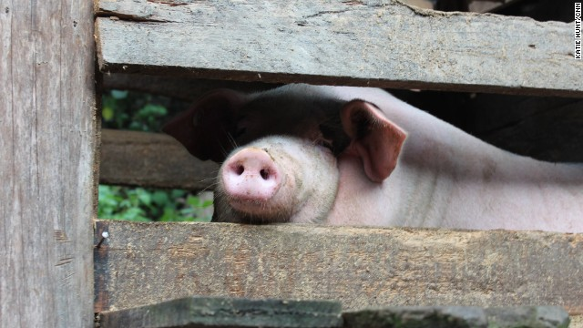 Pigs are more likely to be raised in factory farms than village barns