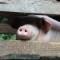 China rural life pig