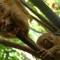 cutest animal 2 Philippine tarsier