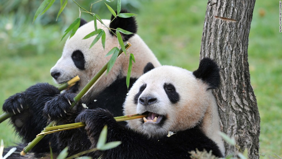 Undeniably adorable -- unless you're a bamboo tree.