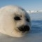 cutest animal 4 Harp seal