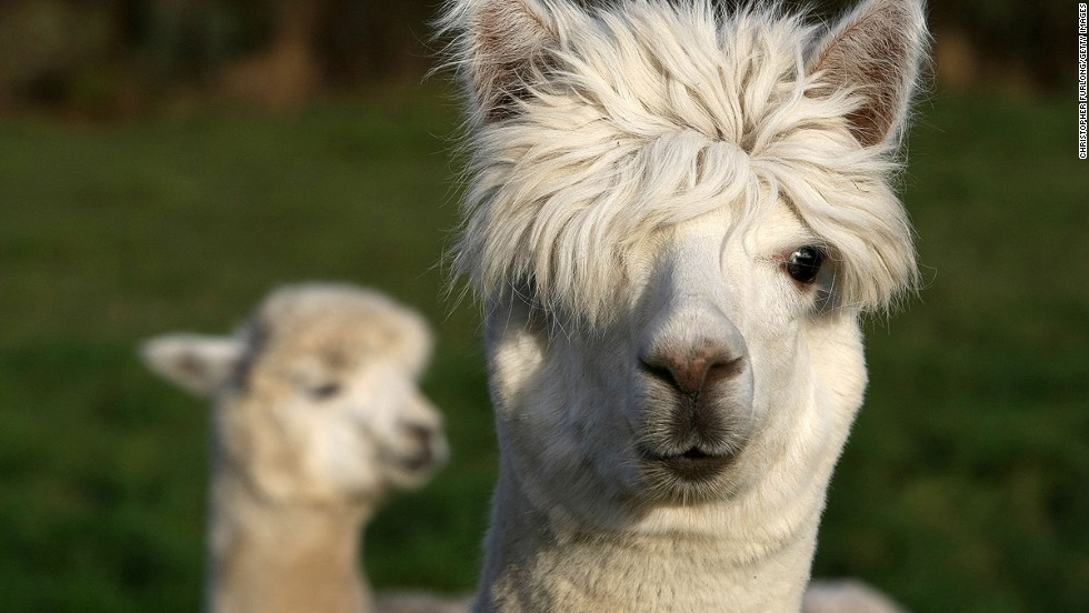 The animal kingdom's answer to the Biebs -- the cuteness is all in the hair.