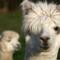 cutest animal 7 Alpaca