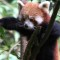 cutest animal 13 Red panda