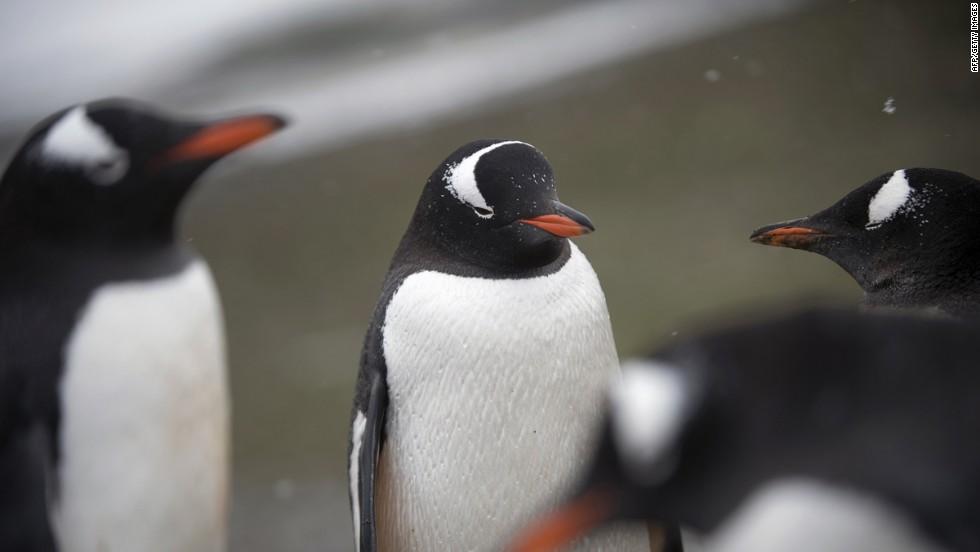Gentoo penguins in discussion.