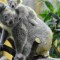 cutest animal 15 Koala