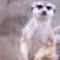 cutest animal 16 Meerkat