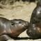 cutest animal 19 Pygmy hippopotamus