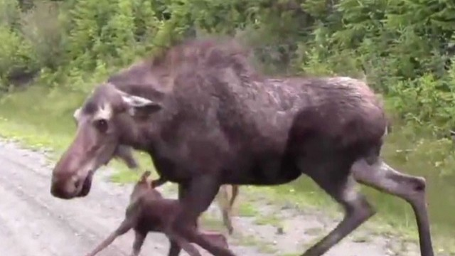 tsr dnt moos momma moose road rage_00004517.jpg