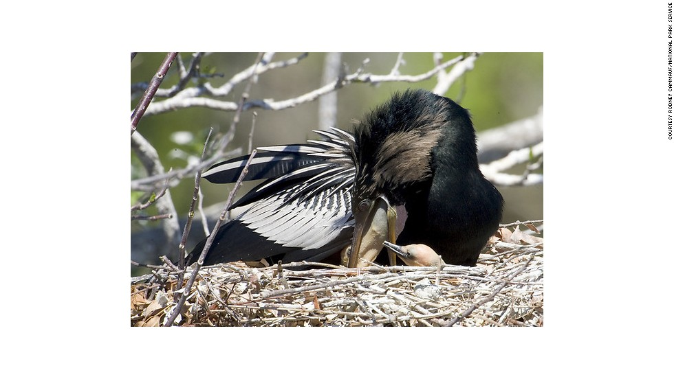 Nicknamed the water turkey and snake bird, Anhinga birds have broad tails that help them swim.
