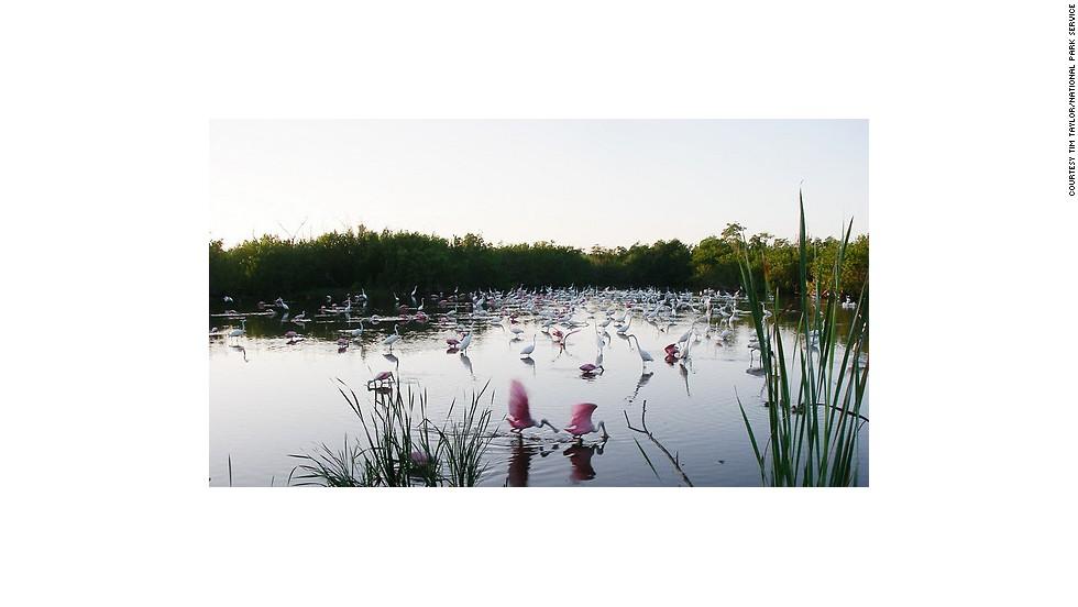 Wading birds gather in the Everglades' Mrazek Pond.