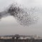 Amazing sights - starling murmuration
