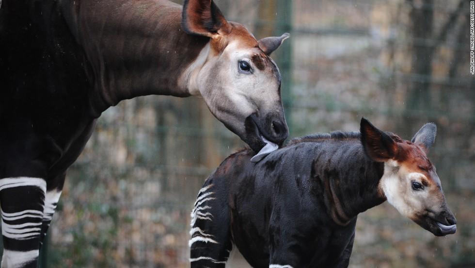 Okapi diet - photo#6