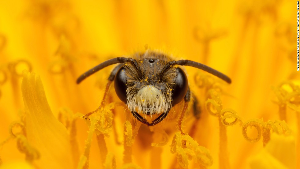 """""""Fine and Dandy"""" -- mining bee, Melton Mowbray. Photograph by Edward Nurcombe. Highly commended in the category hidden Britain."""