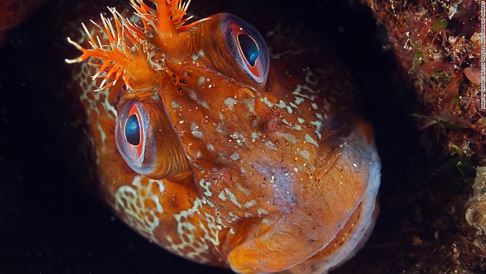 """""""Tommy"""" -- tompot blenny, Trefer Pier, Gwynedd, North Wales. Photograph by Mark N. Thomas. Winner in the category animal portraits."""