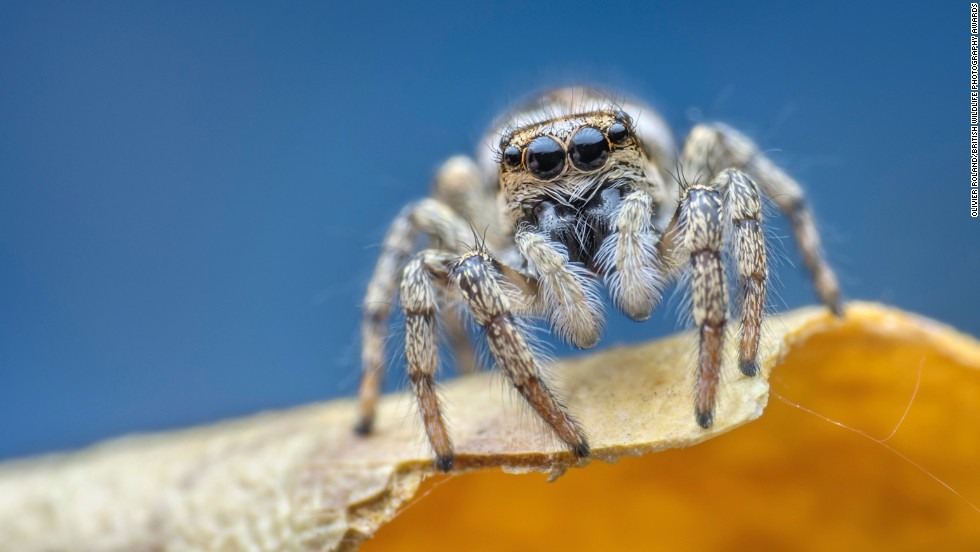 """Blanche"" -- zebra jumping spider, Birmingham. Photograph by Olivier Roland, shown in the category animal portraits."