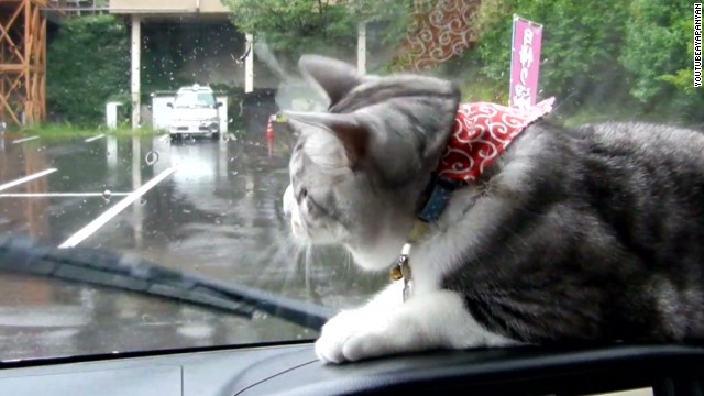 orig distraction cat versus wiper blades_00002005.jpg