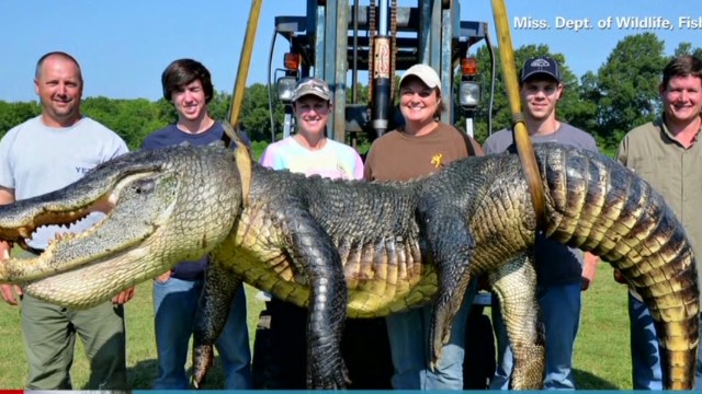 Alligator sets record Berman Newday _00012004.jpg