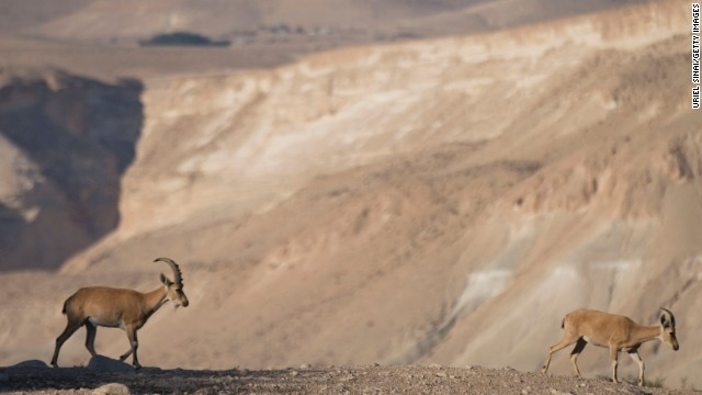 Ibex are just one attraction of the Negev Desert.