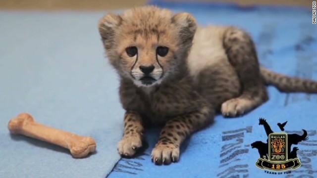 vo dallas zoo welcomes cheetah cubs_00003501.jpg