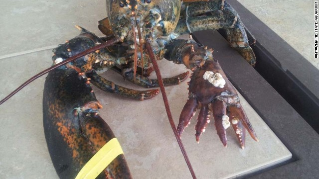 See this rare 6-clawed lobster