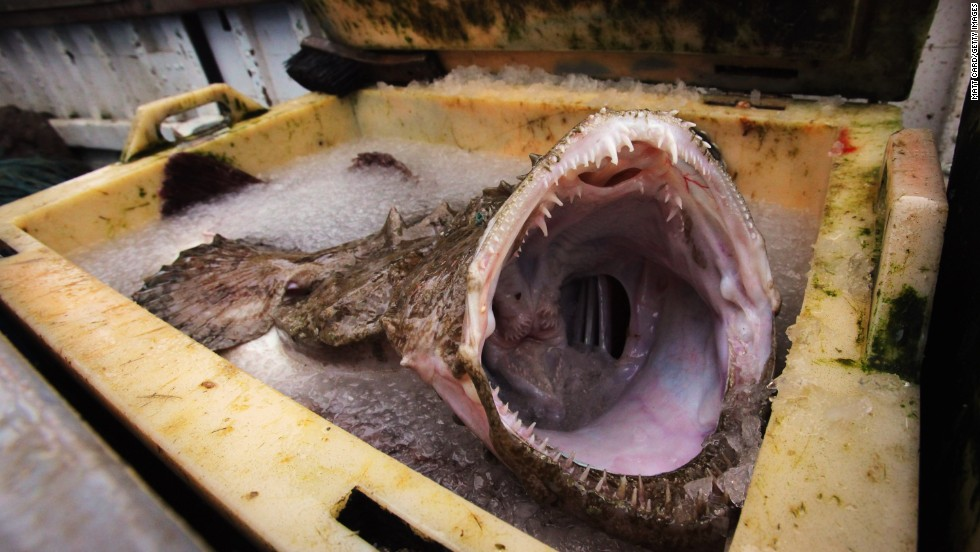 The monkfish. Hangs out in: the Atlantic. Lacks: aesthetic charm. What more to be said?