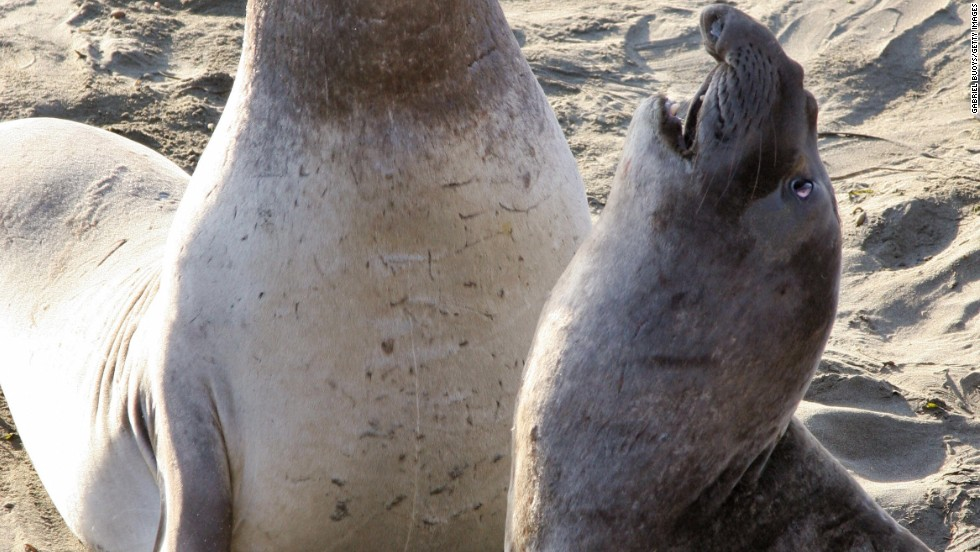 Found lounging hugely on beaches worldwide, the elephant seal looks like someone big, ugly and violent you wouldn't want to encounter in a pub. Curiously enough, those three words also nicely sum up the animal's striking sexual encounter.