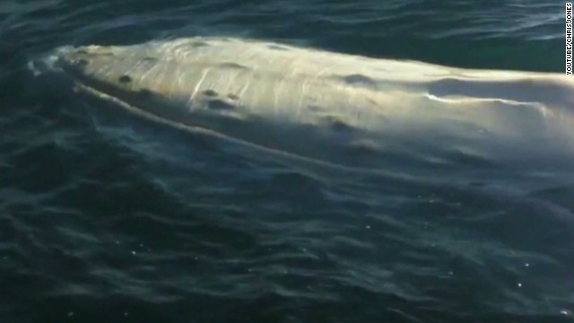 See rare albino whale