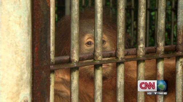 Rehabilitating Orangutans_00011110.jpg
