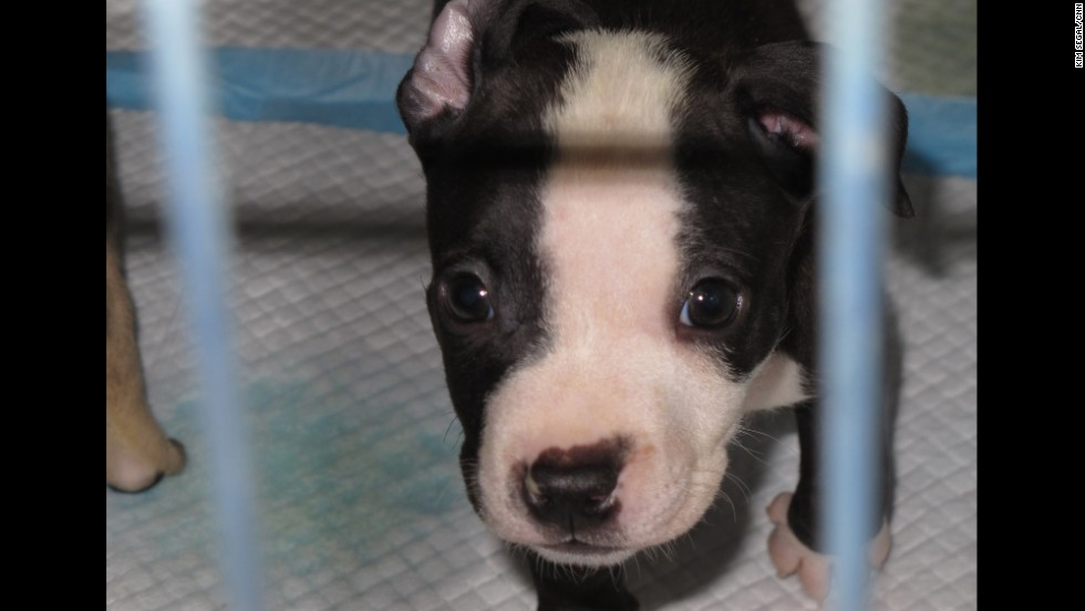 This puppy was one of 372 dogs rescued in what authorities say was the second largest dog fighting ring in the United States.  It was a multistate raid that took place in Alabama, Mississippi, Georgia and Texas and led to the arrest of 12 people.