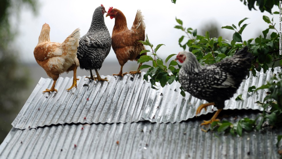 Chickens take refuge on the roof of their coop to escape floodwater in the backyard of a home in Longmont, Colorado, on September 15.