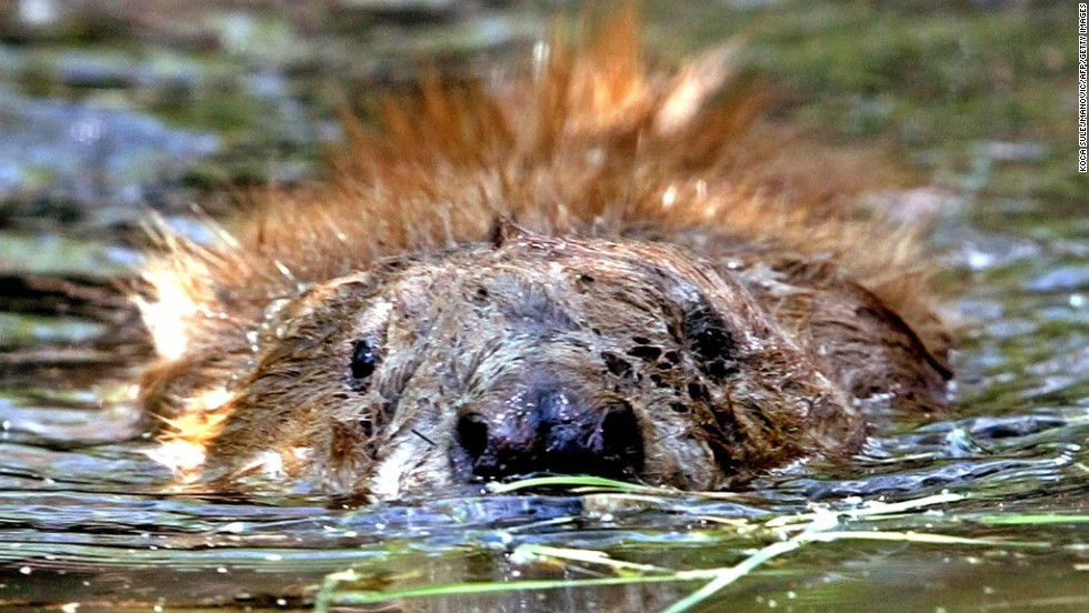 Beavers have been reintroduced into Scotland after 400 years; there's a colony of the buck-toothed creatures in Knapdale Forest.