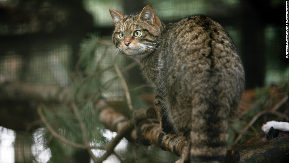 Yes, Scotland has its own wild cat -- so-called Highland tigers -- although there are only 100 left in the wild. If you're very lucky you might spot one in Cairngorms National Park.