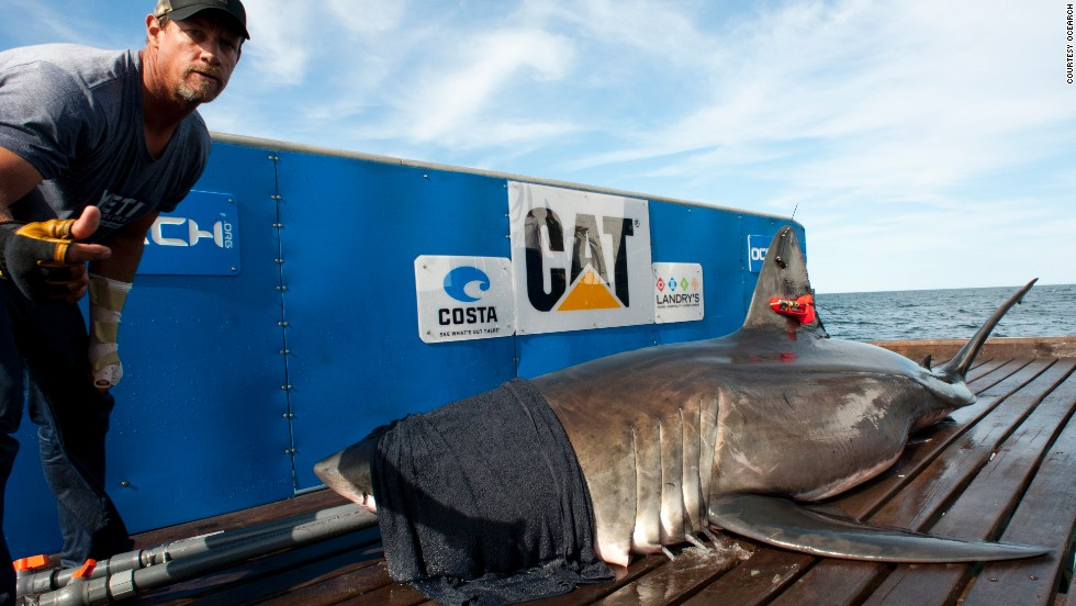 "Tubes of water are inserted in the shark's mouth, cascading down the gills. ""As soon as we bring them on the platform the first thing I do is cover their eyes with a dark, wet towel and that usually calms them right down,"" said captain Brett McBride."