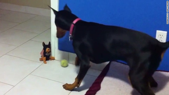 orig distraction doberman scared of toy_00002913.jpg